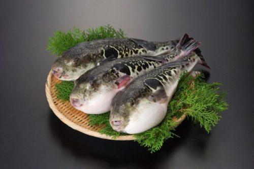 cá nóc hổ Torafugu