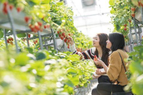 hoạt động thu hoạch dâu tại Gagamori Orange Park.